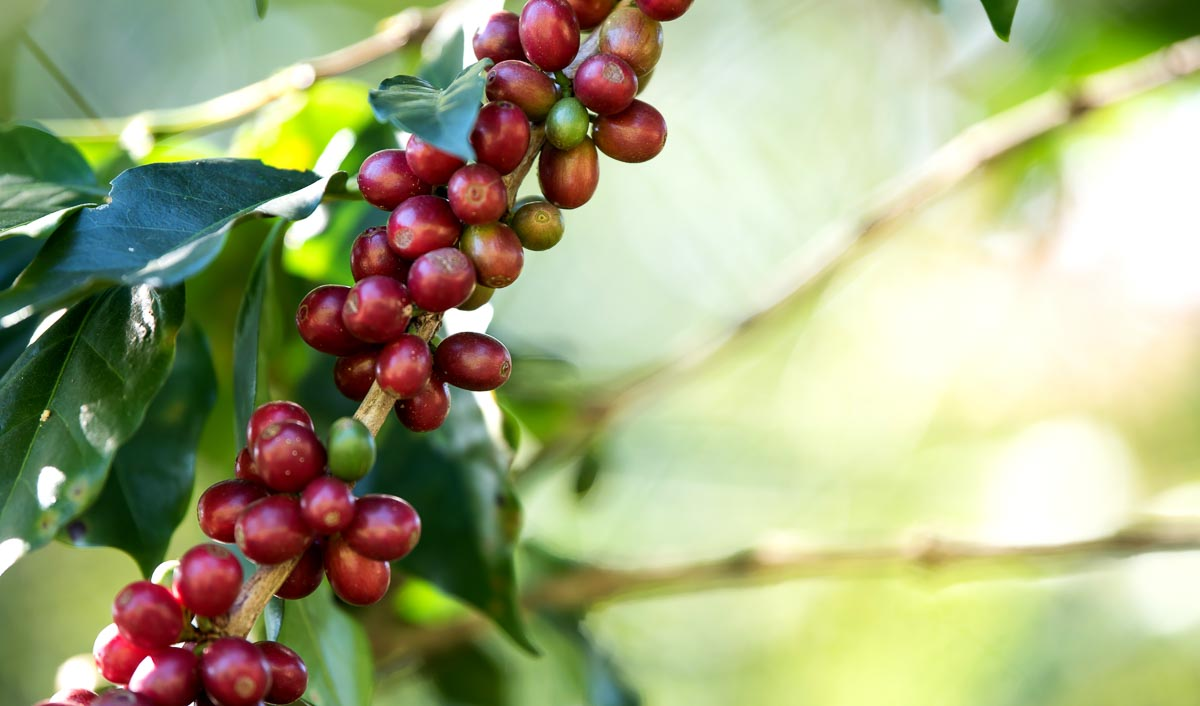 So sehen reife Kaffeekirschen vor der Ernte aus
