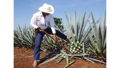 Agaven-Anbau für Tequila und Mezcal
